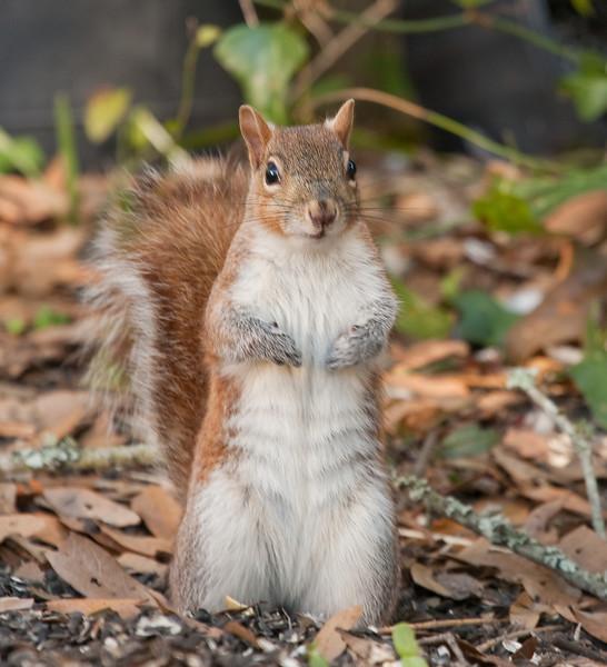 Eastern Gray Squirrel in my backyard raiding the feeders.