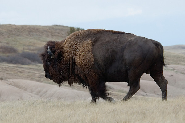 Bison - Badlands Nat'l Park - SD