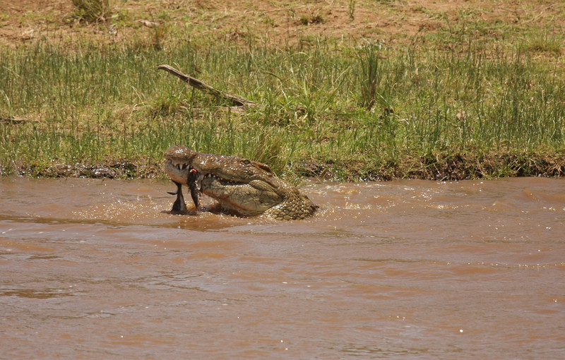 Croc with a piece of the wildebeest.