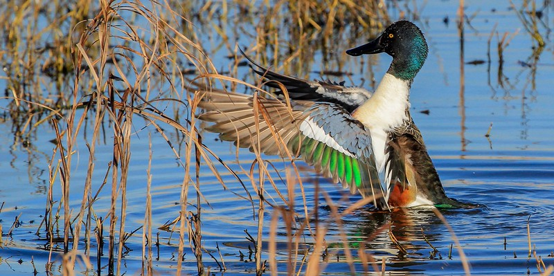 Shoveler wing stretch.
