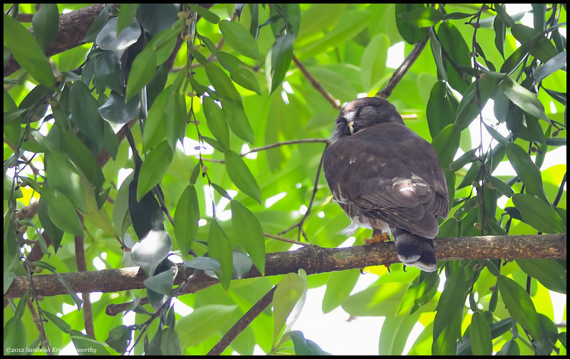 Brown Hawk Owl....in a deep slumber....