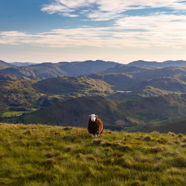 Sheep in the hills above Grasmere, UK