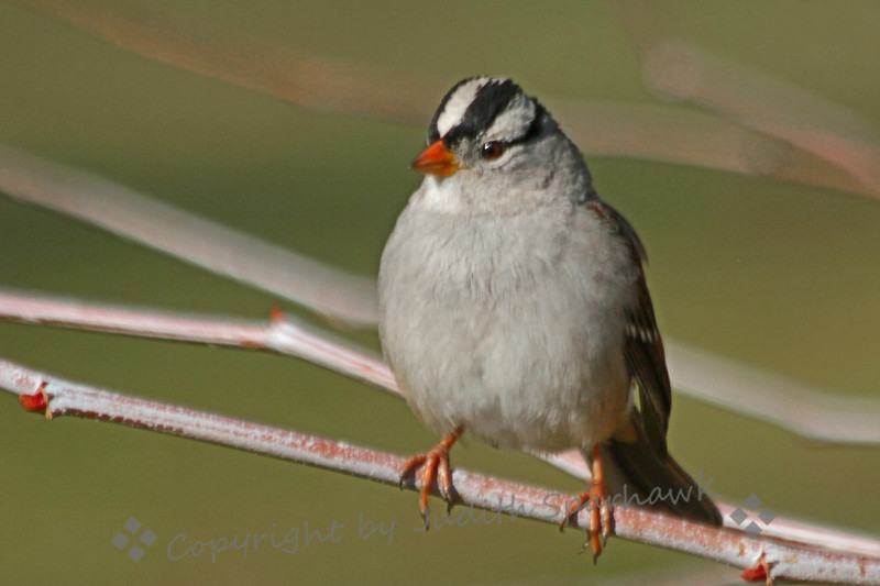 White-crowned Sparrow ~ These perky little birds are regular winter visitors to Southern California.  I was happy to have one sit still long enough to capture it.  He was photographed at Crafton Hills College in Yucaipa, California.