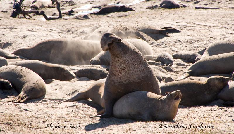 _DSC2235Elephant seal.jpg