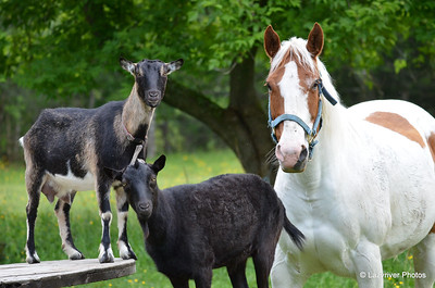 Lazyriver Goats