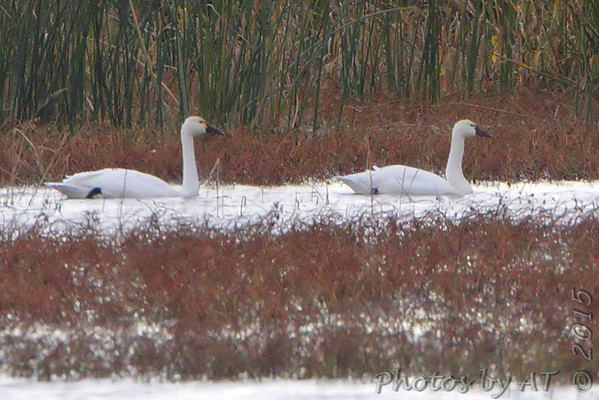 2015-11-20 Riverlands Migratory Bird Sanctuary