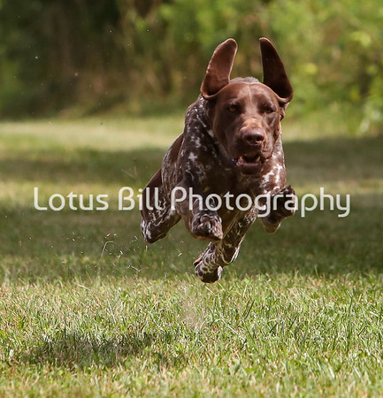 German Shorthaired Pointer SR2
