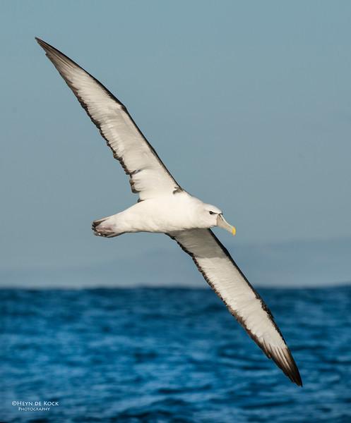 Shy Albatross, Wollongong Pelagic, NSW, Aus, Jul 2013-1.jpg