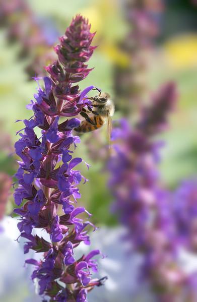 2373 Bee on Blossom.jpg