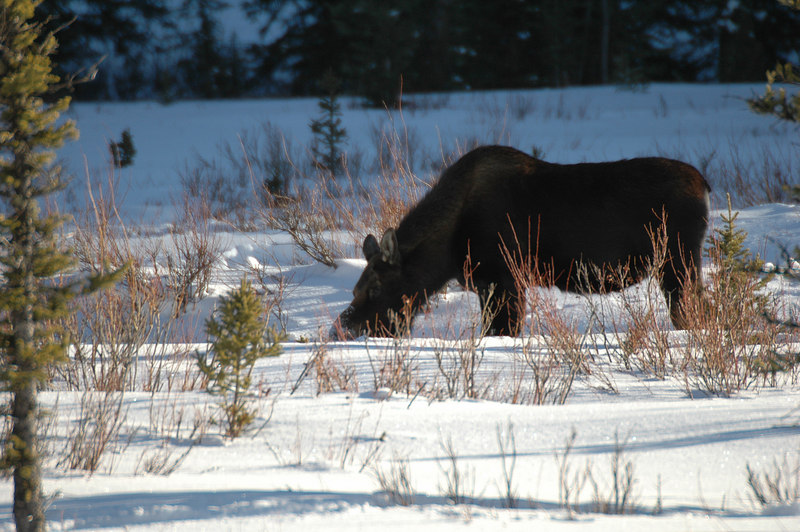 cow moose contributed by Cindy
