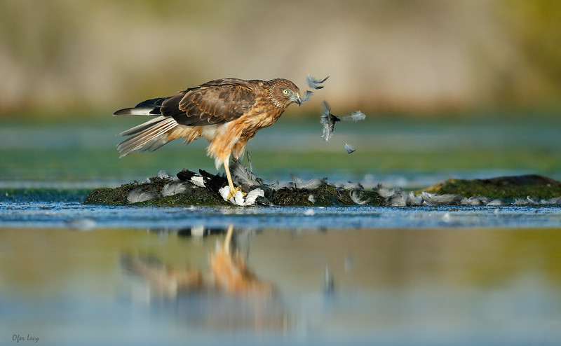 Swamp Harrier 4.jpg