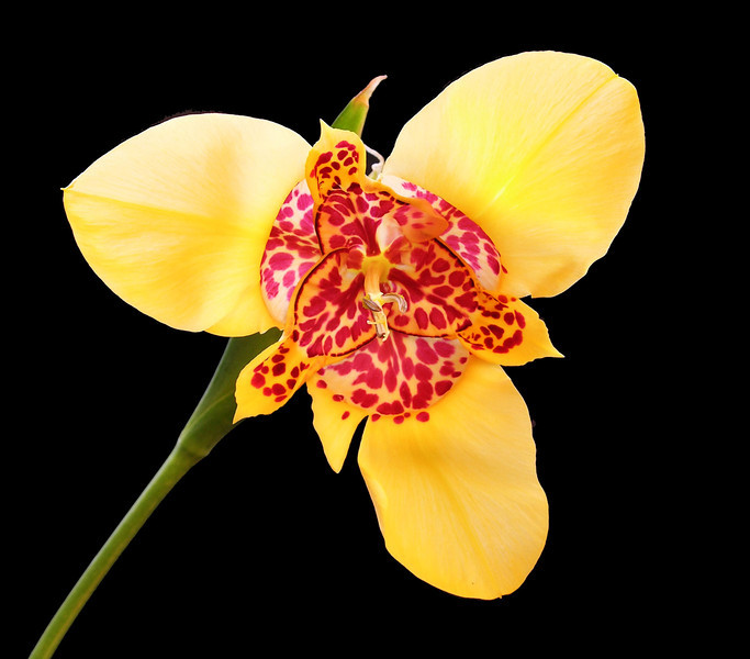 Tigridia pavonia canariensis