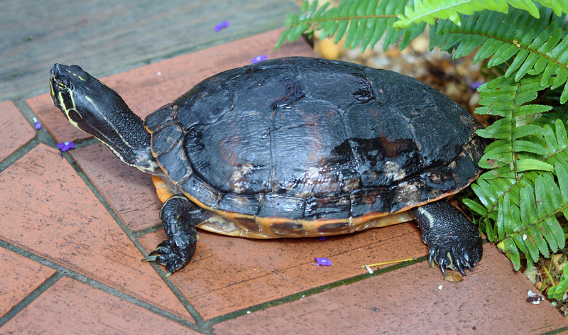 Red-Bellied Slider turtle