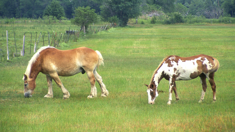 Clydesdale & Paint Grazing