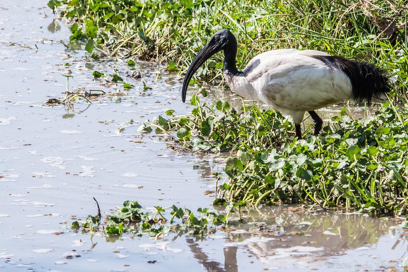 Tanzania Ngorongoro Crater, stork -5083.jpg