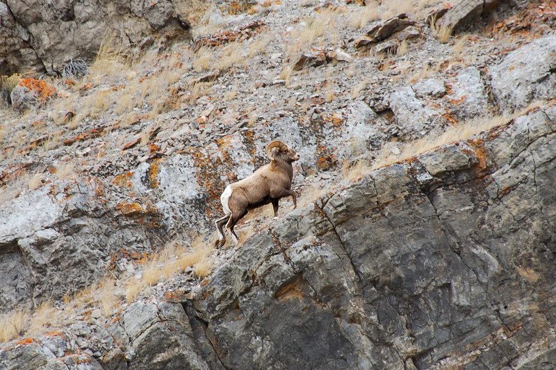 A big horn sheep climbing a cliff   (Dec 12, 2006, 01:49pm)  Seen along the National Elk Refuge Road, just north of Jackson, Wyoming.