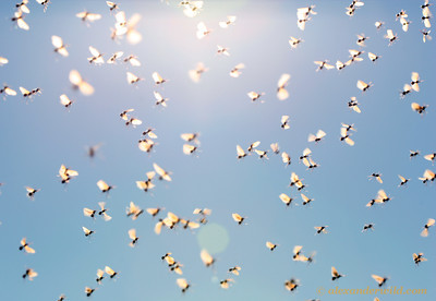 Acromyrmex versicolor mating swarm.