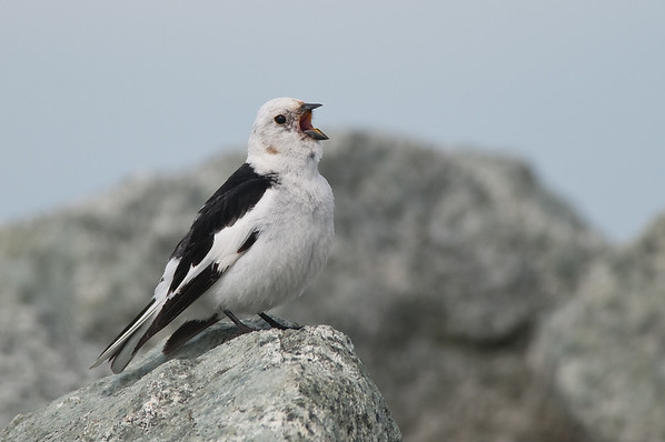 Juncos, Longspurs and Snow Bunting