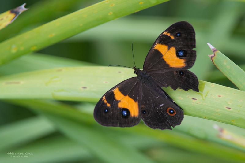 Butterfly, Nowra, NSW, Aus, Nov 2012.jpg