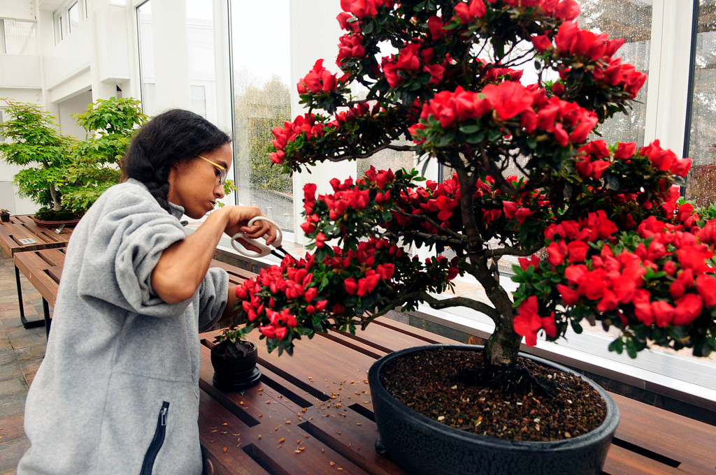 . Horticulturalist Reva Kos cleans up an azalea bonsai tree in the new $2.8 million building and landscape addition at the Ordway Gardens. (Pioneer Press: Scott Takushi)