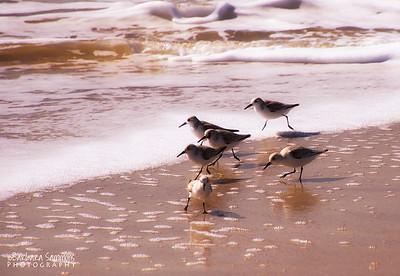 Sanderlings scurrying on the beach - Yaupon Beach, Oak Island, NC