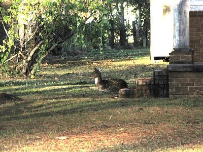 2011 November Deer