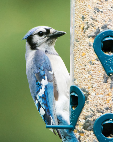 Blue Jay Feeder X4077.jpg