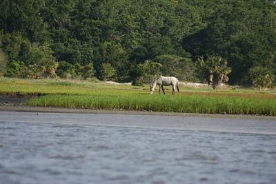 Wild Horses on Clumberland Island, Ga.