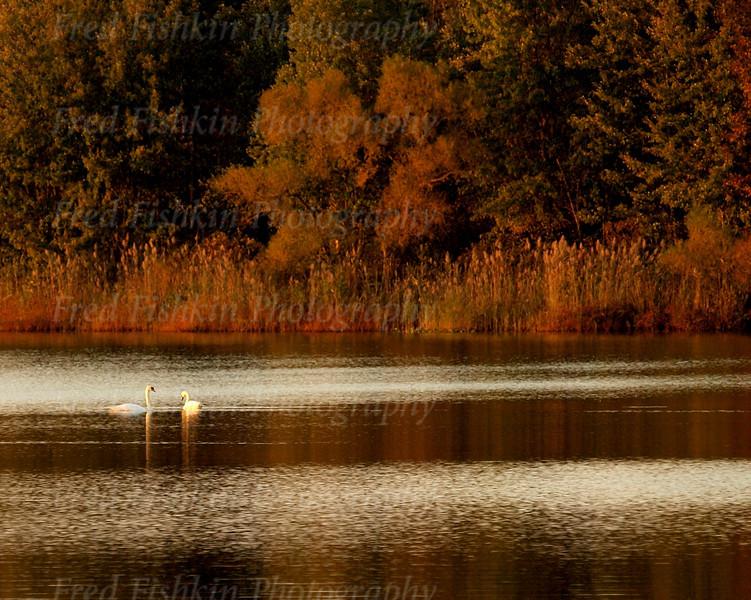 assunpink swans.jpg