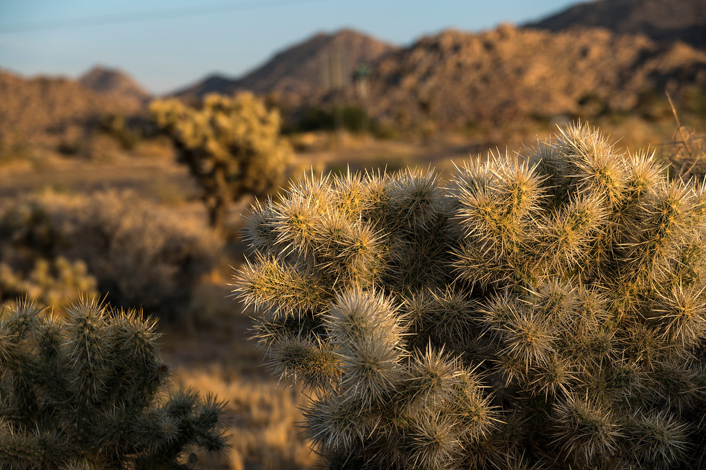 "The incredibly painful Cholla cactus (""Jumping Cholla"")  - Joshua Tree National Park."