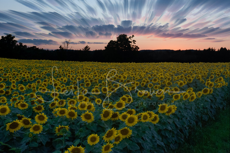 Sunflower sunset revision.jpg