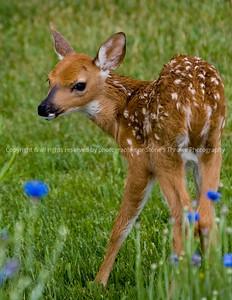 018-deer_fawn-madison_co-09jun06-3090