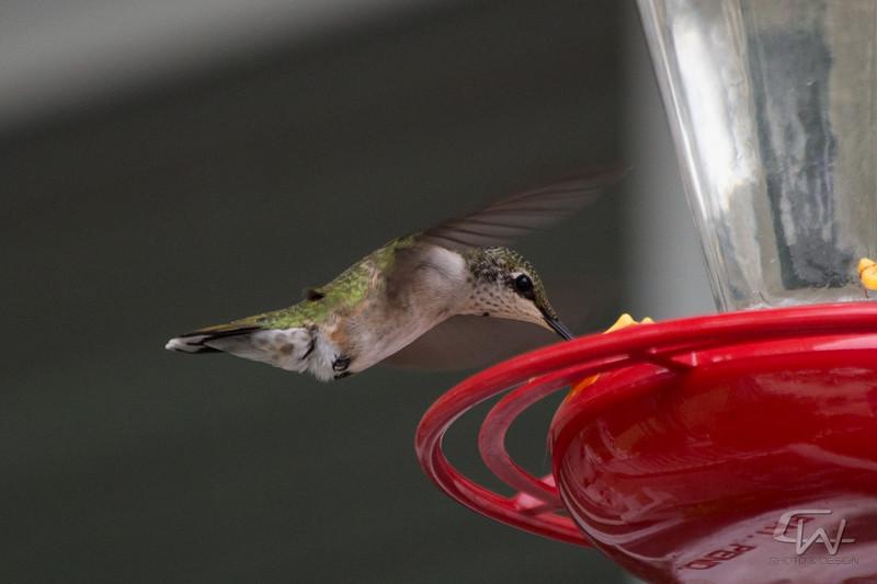 Hummingbird-1920.jpg