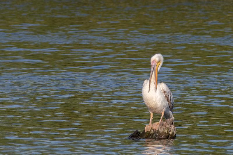pelikan różowy | great white pelican | pelecanus onocrotalus
