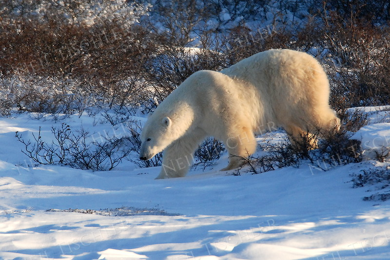 #545  Large polar bear male ambles by