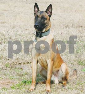 fallen-smith-county-k9-ogar-one-of-4-police-dogs-to-receive-akc-paw-of-courage