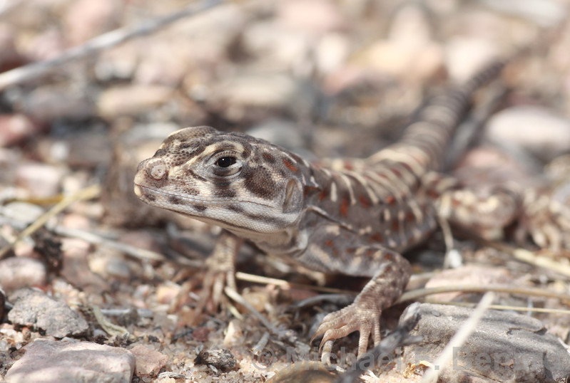 A Leopard Lizard rests in the shade.