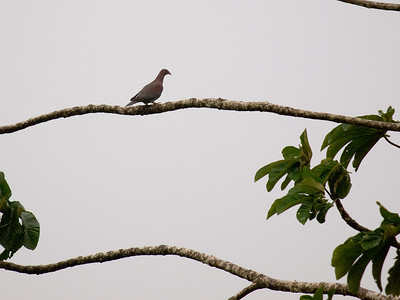 Tropical Birds of Costa Rica