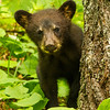 Image of Jewel's cub Fern taken June 2012.  Jewel was born in 2009 and Fern in January 2012. Ursus americanus (American Black Bear).
