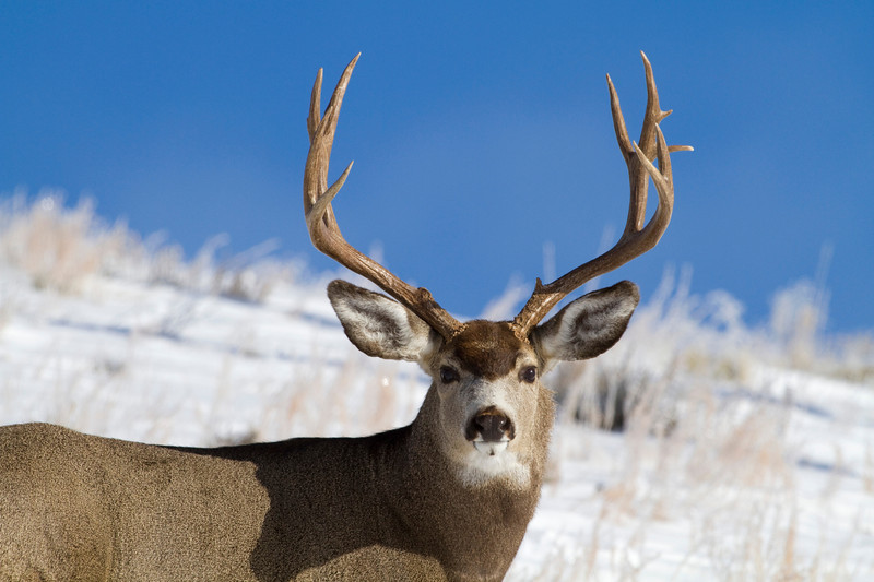 mule deer002.jpg
