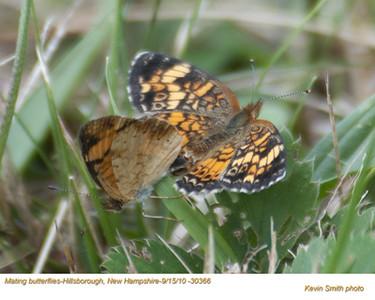 MatingButterflies30366.jpg