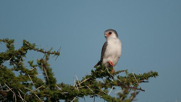 Pygmy Falcon, Polihierax semitorquatus. Samburu, Kenya.