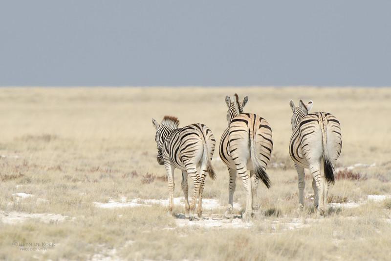 Plains Zebra, Etosha NP, Namibia, July 2011-2.jpg