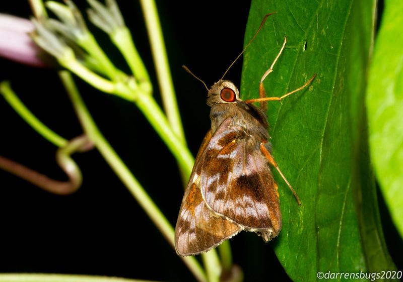 Skipper (Hesperiidae) from Puerto Rico.
