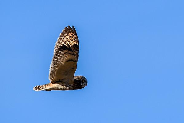 3-29-16 Short-eared Owls