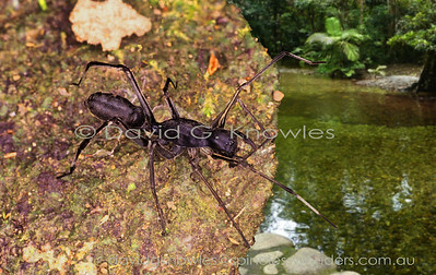 South East Asian Spiders Corinnidae (Antmimic Spiders, Ground Sac Spiders, Swift Spiders)