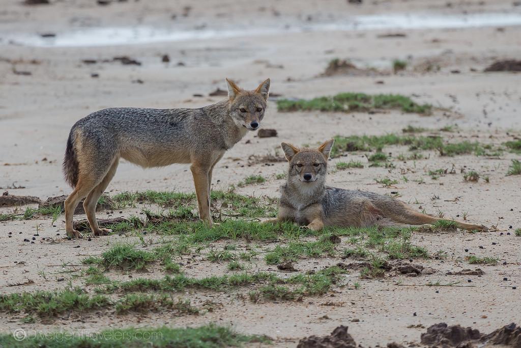 Arugam Bay - Kumana National Park Safari - Jackals