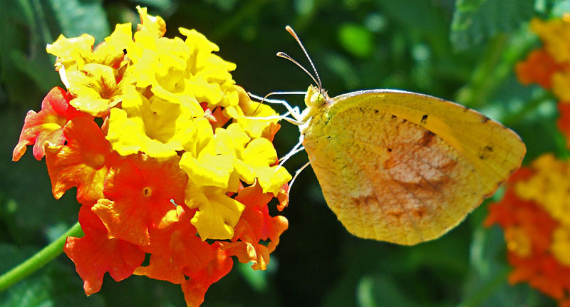 Lantana-Butterfly.jpg