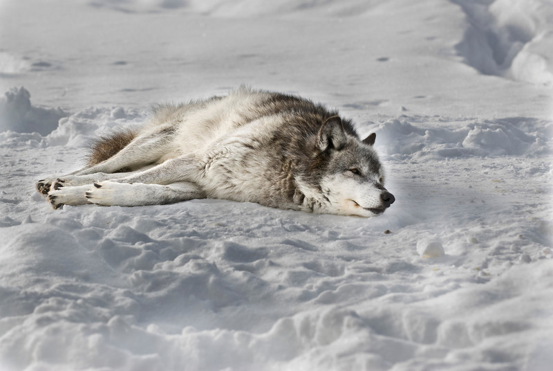 Laying Wolf Merged3120.jpg
