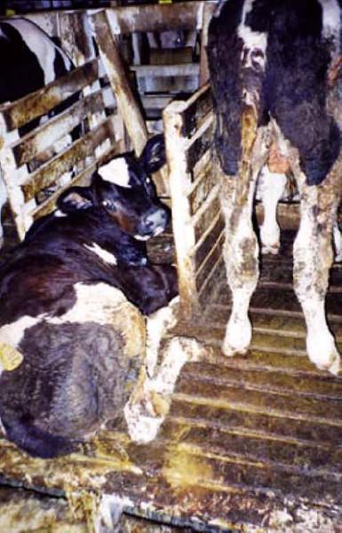 cattle-veal-12.jpg